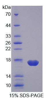 I-FABP / FABP2 Protein - Recombinant Fatty Acid Binding Protein 2, Intestinal By SDS-PAGE