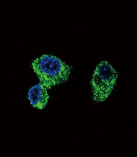 PIGR Antibody - Confocal immunofluorescence of PIGR Antibody with HepG2 cell followed by Alexa Fluor 488-conjugated goat anti-rabbit lgG (green). DAPI was used to stain the cell nuclear (blue).