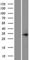 PIH1D1 Protein - Western validation with an anti-DDK antibody * L: Control HEK293 lysate R: Over-expression lysate