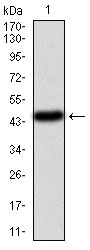Western blot using PIK3CA monoclonal antibody against human PIK3CA (AA: 881-1068) recombinant protein. (Expected MW is 47.4 kDa)