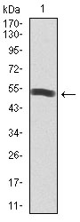 Western blot using PIK3R1 monoclonal antibody against human PIK3R1 recombinant protein. (Expected MW is 53.4 kDa)