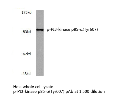 Western blot of p-PI3 kinase p85-(Tyr607) pAb in extracts from HeLa cells.