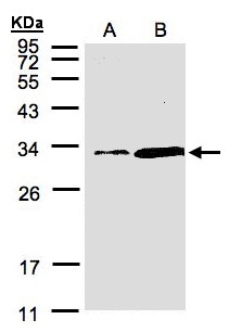 Sample (30 ug of whole cell lysate). A: Hep G2, B: MOLT4. 12% SDS PAGE. PITPNA antibody diluted at 1:1500
