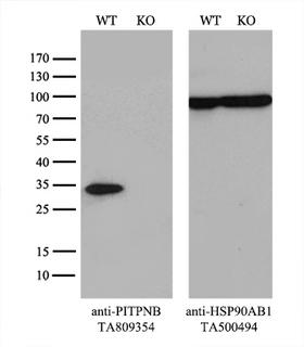 PITPNB Antibody - Equivalent amounts of cell lysates  and PITPNB-Knockout Hela cells  were separated by SDS-PAGE and immunoblotted with anti-PITPNB monoclonal antibody(1:500). Then the blotted membrane was stripped and reprobed with anti-HSP90AB1 antibody  as a loading control.