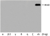 Western blot of recombinant human PKC isoforms using Rabbit Anti-PKC iota/ lambda Polyclonal Antibody, demonstrating the isoform-specificity of this antibody.