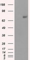 HEK293T cells were transfected with the pCMV6-ENTRY control (Left lane) or pCMV6-ENTRY PRKG1 (Right lane) cDNA for 48 hrs and lysed. Equivalent amounts of cell lysates (5 ug per lane) were separated by SDS-PAGE and immunoblotted with anti-PRKG1.