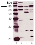 Western blot: Lane 1: MW marker, Lane 2: HeLa cell lysate, Lane 3: Rat brain tissue extract, Lane 4: MDBK cell lysate.