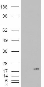 PLA2G1B Antibody - HEK293 overexpressing PLA2G1B (RC216089) and probed with (mock transfection in first lane).