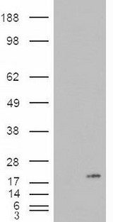 HEK293 overexpressing PLA2G1B (RC216089) and probed with (mock transfection in first lane).