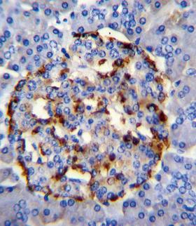 PLA2G2D Antibody - PLA2G2D Antibody immunohistochemistry of formalin-fixed and paraffin-embedded human pancreas tissue followed by peroxidase-conjugated secondary antibody and DAB staining.