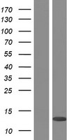 PLAC8 Protein - Western validation with an anti-DDK antibody * L: Control HEK293 lysate R: Over-expression lysate