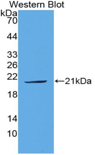 PLAU / Urokinase / uPA Antibody - Western blot of recombinant PLAU / Urokinase / UPA.  This image was taken for the unconjugated form of this product. Other forms have not been tested.