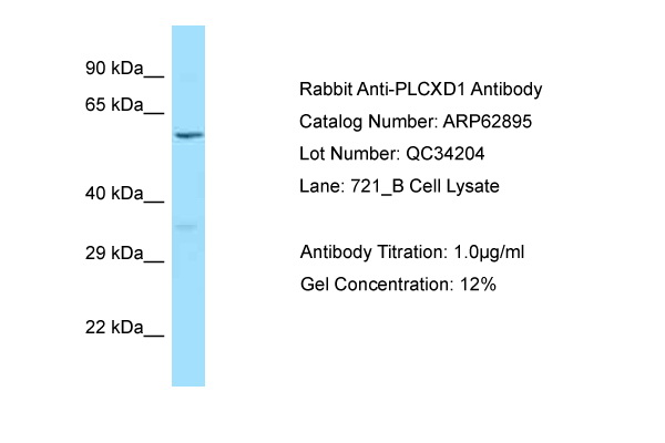 PLCXD1 Antibody -  This image was taken for the unconjugated form of this product. Other forms have not been tested.