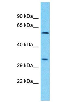 PLCXD3 Antibody - PLCXD3 antibody Western Blot of Jurkat. Antibody dilution: 1 ug/ml.  This image was taken for the unconjugated form of this product. Other forms have not been tested.