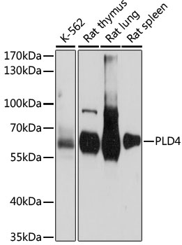 PLD4 / Phospholipase D4 Antibody - Western blot analysis of extracts of various cell lines, using PLD4 antibody at 1:1000 dilution. The secondary antibody used was an HRP Goat Anti-Rabbit IgG (H+L) at 1:10000 dilution. Lysates were loaded 25ug per lane and 3% nonfat dry milk in TBST was used for blocking. An ECL Kit was used for detection and the exposure time was 15s.
