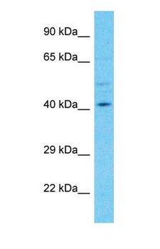 PLEKHA2 Antibody - Western blot of PLEKHA2 Antibody with human HeLa Whole Cell lysate.  This image was taken for the unconjugated form of this product. Other forms have not been tested.