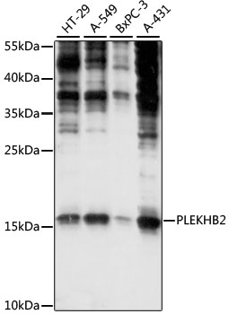 PLEKHB2 Antibody - Western blot analysis of extracts of various cell lines, using PLEKHB2 antibody at 1:1000 dilution. The secondary antibody used was an HRP Goat Anti-Rabbit IgG (H+L) at 1:10000 dilution. Lysates were loaded 25ug per lane and 3% nonfat dry milk in TBST was used for blocking. An ECL Kit was used for detection and the exposure time was 30s.