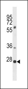 PLEKHF1 Antibody western blot of 293 cell line lysates (35 ug/lane). The PLEKHF1 antibody detected the PLEKHF1 protein (arrow).