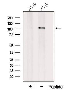 PLEKHG5 Antibody - Western blot analysis of extracts of A549 cells using PLEKHG5 antibody. The lane on the left was treated with blocking peptide.