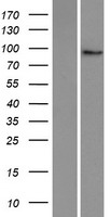 PLEKHG6 Protein - Western validation with an anti-DDK antibody * L: Control HEK293 lysate R: Over-expression lysate