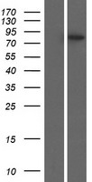 PLEKHH3 Protein - Western validation with an anti-DDK antibody * L: Control HEK293 lysate R: Over-expression lysate