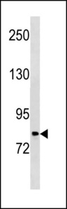 PLOD2 Antibody western blot of HeLa cell line lysates (35 ug/lane). The PLOD2 antibody detected the PLOD2 protein (arrow).