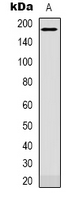 PLXNC1 / Plexin C1 Antibody - Western blot analysis of CD232 expression in NIH3T3 (A) whole cell lysates.
