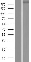 PLXNC1 / Plexin C1 Protein - Western validation with an anti-DDK antibody * L: Control HEK293 lysate R: Over-expression lysate