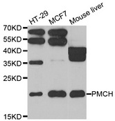 PMCH / MCH Antibody - Western blot analysis of extracts of various cell lines.