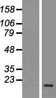 PNRC2 Protein - Western validation with an anti-DDK antibody * L: Control HEK293 lysate R: Over-expression lysate
