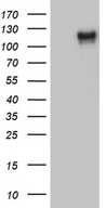 PODXL2 / Endoglycan Antibody - HEK293T cells were transfected with the pCMV6-ENTRY control. (Left lane) or pCMV6-ENTRY PODXL2. (Right lane) cDNA for 48 hrs and lysed. Equivalent amounts of cell lysates. (5 ug per lane) were separated by SDS-PAGE and immunoblotted with anti-PODXL2. (1:2000)