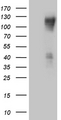 HEK293T cells were transfected with the pCMV6-ENTRY control. (Left lane) or pCMV6-ENTRY PODXL2. (Right lane) cDNA for 48 hrs and lysed