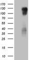HEK293T cells were transfected with the pCMV6-ENTRY control. (Left lane) or pCMV6-ENTRY PODXL2. (Right lane) cDNA for 48 hrs and lysed. Equivalent amounts of cell lysates. (5 ug per lane) were separated by SDS-PAGE and immunoblotted with anti-PODXL2. (1:2000)