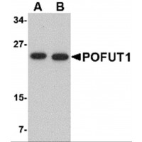 Western blot analysis of POFUT1 in human heart tissue lysate with POFUT1 antibody at (A) 0.5 and (B) 1 µg/mL.