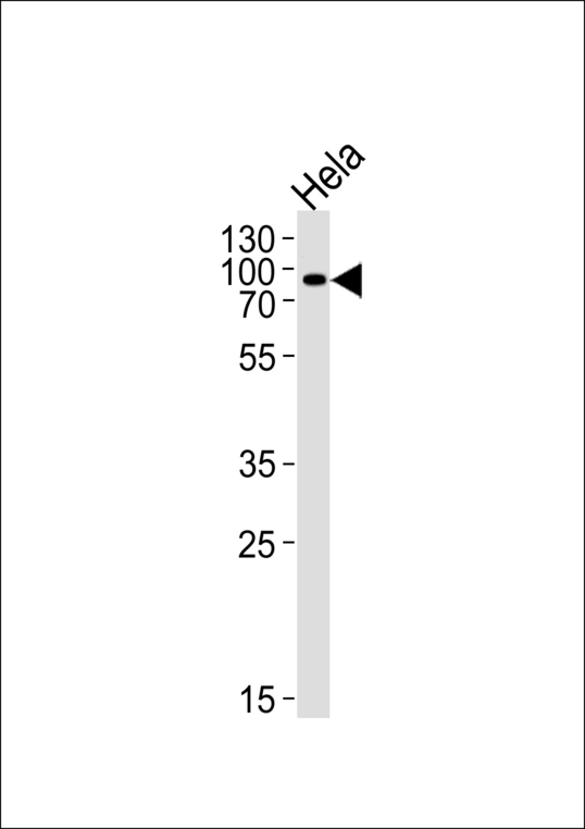 Western blot of lysate from HeLa cell line, using POGK Antibody. Antibody was diluted at 1:1000 at each lane. A goat anti-rabbit IgG H&L (HRP) at 1:5000 dilution was used as the secondary antibody. Lysate at 35ug per lane.