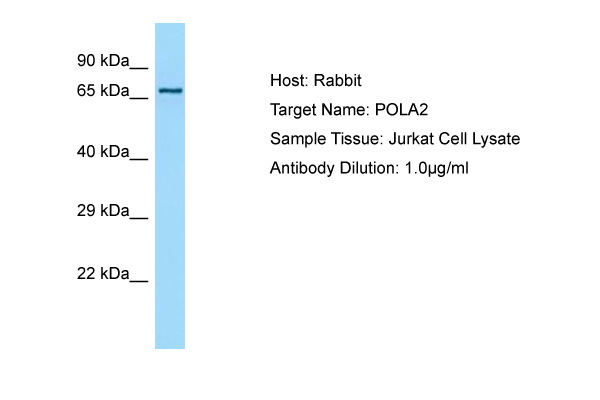 POLA2 / DNA Polymerase Alpha 2 Antibody -  This image was taken for the unconjugated form of this product. Other forms have not been tested.
