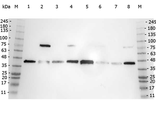 POLB / DNA Polymerase Beta Antibody - Western Blot of rabbit anti-POLB antibody. Marker: Opal Pre-stained ladder Lane 1: HEK293 lysate Lane 2: HeLa Lysate Lane 3: MCF-7 Lysate Lane 4: Jurkat Lysate Lane 5: A431 Lysate Lane 6: Raji Lsyate Lane 7: Ramos Lysate Lane 8: NIH/3T3 Lysate Load: 35 µg per lane. Primary antibody: POLB antibody at 1:5,000 for 3hrs at RT. Secondary antibody: Peroxidase rabbit secondary antibody at 1:30,000 for 60 min at RT. Blocking Buffer: 1% Casein-TTBS for 30 min at RT. Predicted/Observed size: 38 kDa for POLB.
