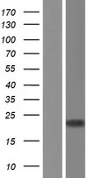 POLE3 / DNA Polymerase Epsilon Protein - Western validation with an anti-DDK antibody * L: Control HEK293 lysate R: Over-expression lysate
