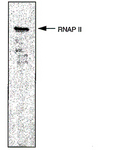 POLR2A / RNA polymerase II Antibody -  This image was taken for the unconjugated form of this product. Other forms have not been tested.