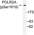 Western blot of p-Rpb1 (S1619) pAb in extracts from MDA-MB-435 cells.