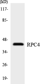 Western blot analysis of the lysates from HepG2 cells using RPC4 antibody.