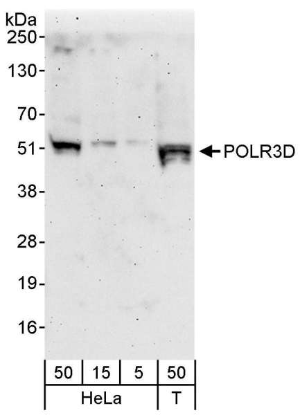 Detection of Human POLR3D by Western Blot. Samples: Whole cell lysate from HeLa (5, 15 and 50 ug) and 293T (T; 50 ug) cells. Antibodies: Affinity purified rabbit anti-POLR3D antibody used for WB at 0.1 ug/ml Detection: Chemiluminescence with an exposure time of 3 minutes.