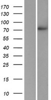 POMGNT1 Protein - Western validation with an anti-DDK antibody * L: Control HEK293 lysate R: Over-expression lysate