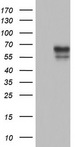 POMK / SGK196 Antibody - HEK293T cells were transfected with the pCMV6-ENTRY control. (Left lane) or pCMV6-ENTRY SGK196. (Right lane) cDNA for 48 hrs and lysed. Equivalent amounts of cell lysates. (5 ug per lane) were separated by SDS-PAGE and immunoblotted with anti-SGK196.
