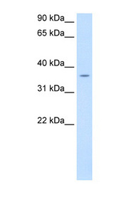 PON1 / ESA Antibody - PON1 antibody ARP41401_P050-NP_000437-PON1(paraoxonase 1) Antibody Western blot of fetal liver lysate.  This image was taken for the unconjugated form of this product. Other forms have not been tested.