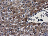 IHC of paraffin-embedded Human liver tissue using anti-PON1 mouse monoclonal antibody.