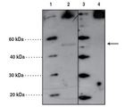 Western blot with PORCN antibody at 4 ug/ml. Lanes 1 and 3: MW markers, Lane 2: A549 cell lysate (20 ug), Lane 4: A549 cell lysate (20 ug) + PORCN peptide (20 ug/ml).