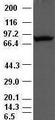 Periostin antibody (47) at 1:500 dilution + lysate from HeLa cells transfected with human periostin gene expression vector.