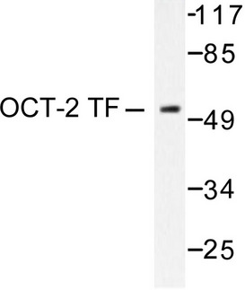 Western blot of OCT2/OTF2 (H3) pAb in extracts from COS7 cells.