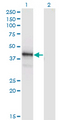 Western Blot analysis of POU4F1 expression in transfected 293T cell line by POU4F1 monoclonal antibody (M04), clone 7B4.Lane 1: POU4F1 transfected lysate(46.09 KDa).Lane 2: Non-transfected lysate.